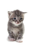 Kitten on White Background Royalty Free Stock Image