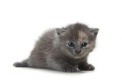 Kitten on White Background Stock Image