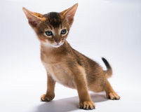 Kitten on white background Royalty Free Stock Images