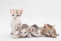 Kitten on a white background. Stock Photo