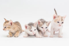 Kitten on a white background. Stock Photos