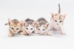 Kitten on a white background. Royalty Free Stock Images