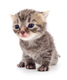 Kitten on white background. Stock Photography
