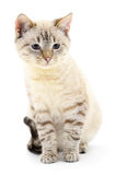 Kitten on a white background Royalty Free Stock Photos