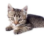 Kitten on white backgrounds Royalty Free Stock Photo