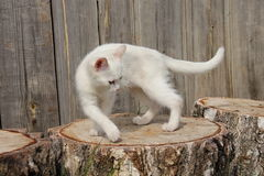 Kitten. White kitten dancing on stumps Royalty Free Stock Photos