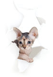Kitten in white paper side torn hole Royalty Free Stock Photos