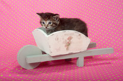 Kitten in white wheelbarrow Stock Photos