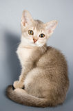 Kitten whom the first time poses. In studio Stock Photo