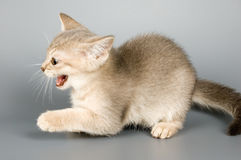 Kitten whom the first time poses. In studio Stock Photography
