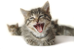 Kitten with wide open mouth. Funny kitten with wide open mouth, on white background Stock Photos
