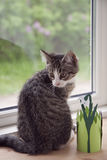 Kitten in the Window Royalty Free Stock Image