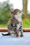 Kitten at the window. Looking up Stock Photos