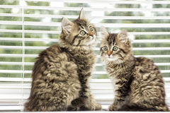Kitten on a window sill Royalty Free Stock Images