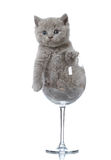 Kitten in a wine glass Stock Photos