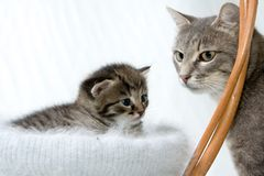 Kitten With Mother Stock Image
