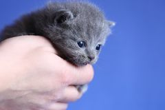 Kitten in woman hand, British Shorthair. Cute small baby cat in woman`s hands, British Shorthair kitten against a blue background royalty free stock photos
