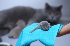 Kitten in woman`s hands on a towel. Cute small one day old baby cat in a woman hand, first day of life British Shorthair kitten stock photo