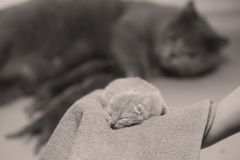 Kitten in woman`s hands on a towel. Cute small one day old baby cat in a woman hand, first day of life British Shorthair kitten royalty free stock photo
