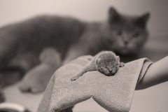 Kitten in woman`s hands on a towel. Cute small one day old baby cat in a woman hand, first day of life British Shorthair kitten royalty free stock images