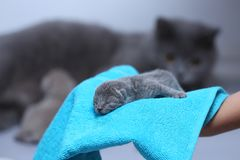 Kitten in woman`s hands on a towel. Cute small one day old baby cat in a woman hand, first day of life British Shorthair kitten stock image