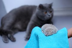 Kitten in woman`s hands on a towel. Cute small one day old baby cat in a woman hand, first day of life British Shorthair kitten royalty free stock photography