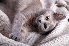 Kitten on a woolen blanket Royalty Free Stock Photography
