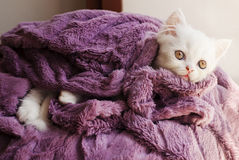 Kitten wrapped in blanket Royalty Free Stock Photography