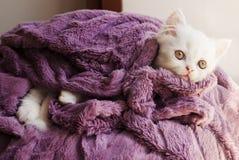 Kitten wrapped in blanket. Adorable white Persian kitten under blanket Royalty Free Stock Photography