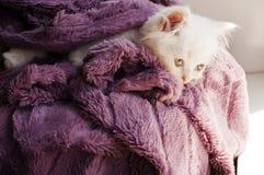 Kitten wrapped in blanket. Adorable white Persian kitten under blanket Stock Photos