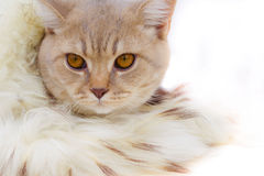 The kitten is wrapped up in a boa Stock Photography