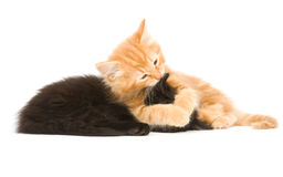 Kitten wrestling Royalty Free Stock Photography