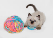 Kitten and yarn ball isolated. Chocolate Point little funny blue eyes Himalayan Siamese kitten playing with the ball of colorful yarn. isolated stock photos