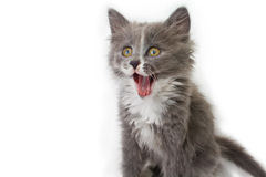 Kitten Yawning. With eyes open on white background Stock Image