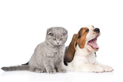 Kitten and yawning basset hound puppy together. isolated on white Royalty Free Stock Image