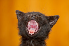 Kitten yawning Stock Images