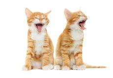 Kitten yawning Royalty Free Stock Image