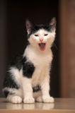 Kitten yawns Stock Photos