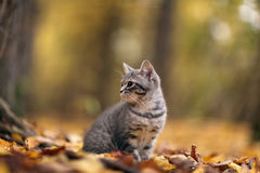 Kitten in yellow autmn leaves Royalty Free Stock Photo