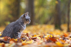 Kitten in yellow leaves autmn Stock Images