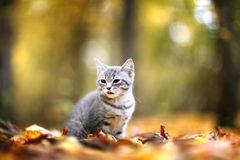 Kitten in yellow leaves black an white Royalty Free Stock Photography