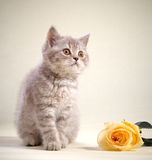 Kitten and yellow rose Stock Images