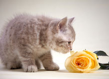 Kitten and yellow rose Stock Image