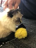 Kitten with yellow toy. Kitten being patted while holding yellow toy Royalty Free Stock Photo