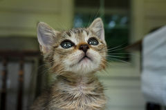 Kitten. A young farm kitten looking up at the sky Stock Photography