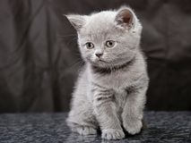 Kitten25 Stock Photography