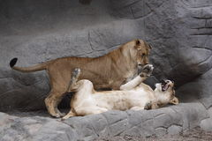 Kittenish lion juveniles. The lion juveniles (Panthera leo) are playing with each other Royalty Free Stock Image