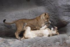Kittenish lion juveniles Royalty Free Stock Image