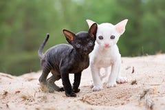 Kittens royalty free stock image