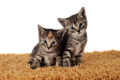 Kittens Royalty Free Stock Photos